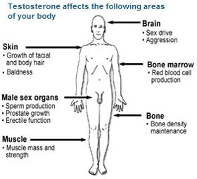 impact of testosterone in our body