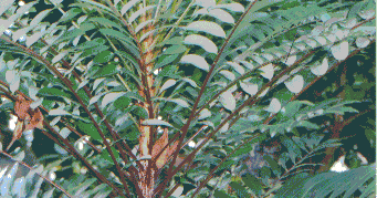 Tongkat ali small plant